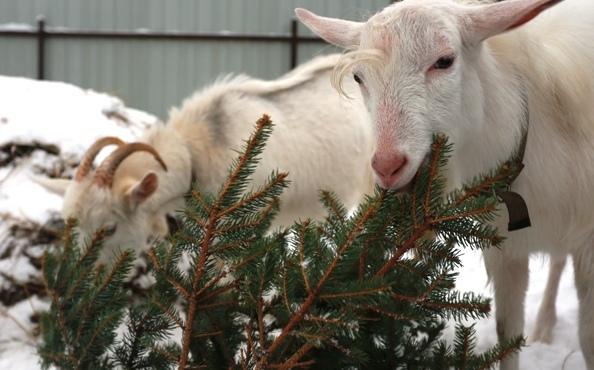 елка козы